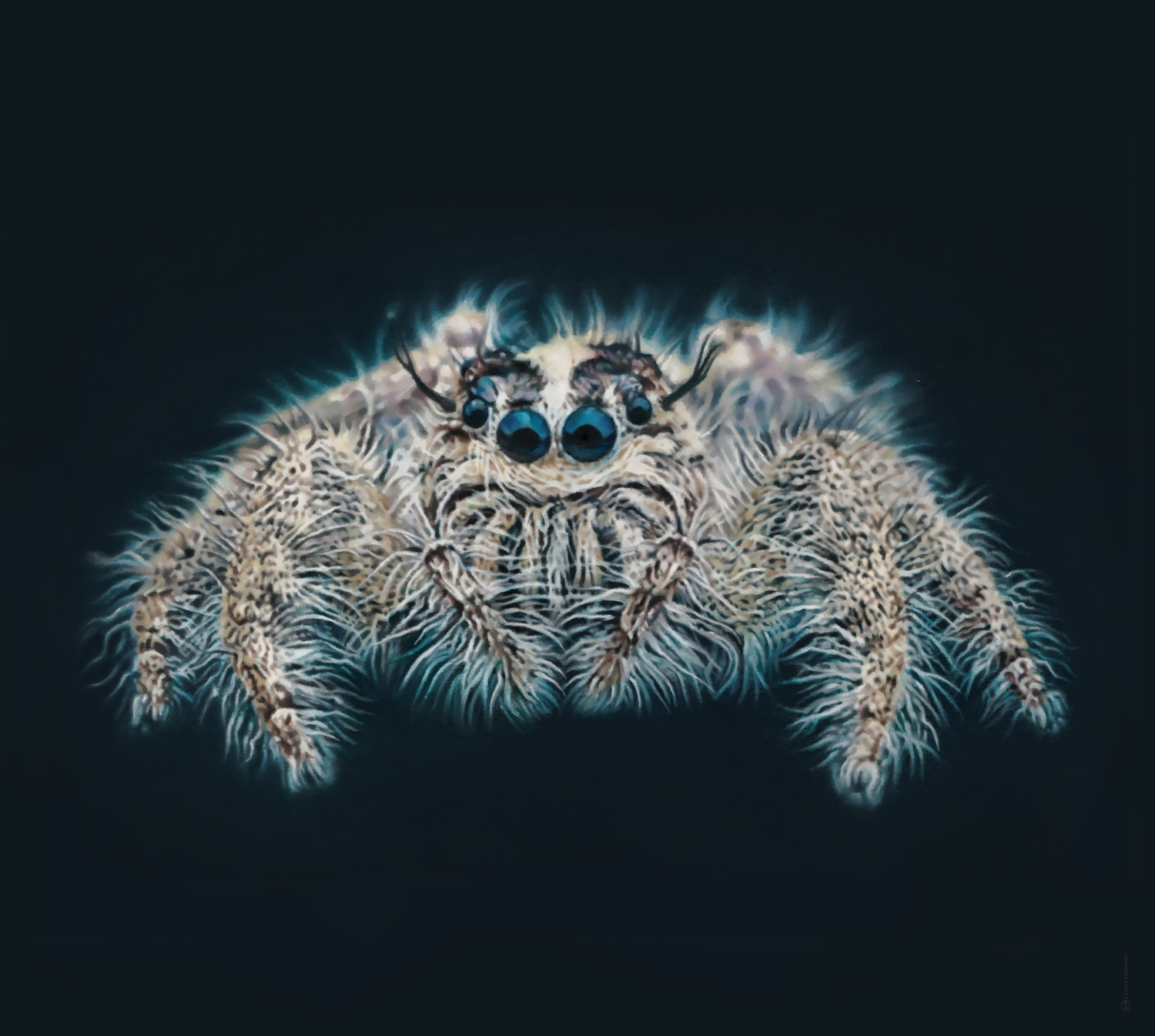 jumping_spider_2